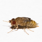 Wingless_Drosophila_hydei